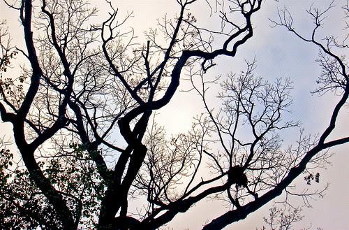 Squirrel's nest in an oak tree