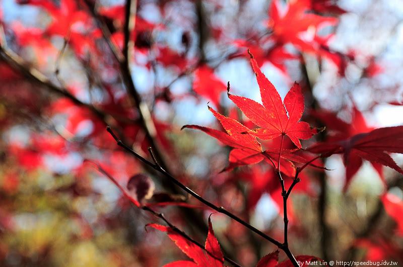 福壽山農場楓紅-21