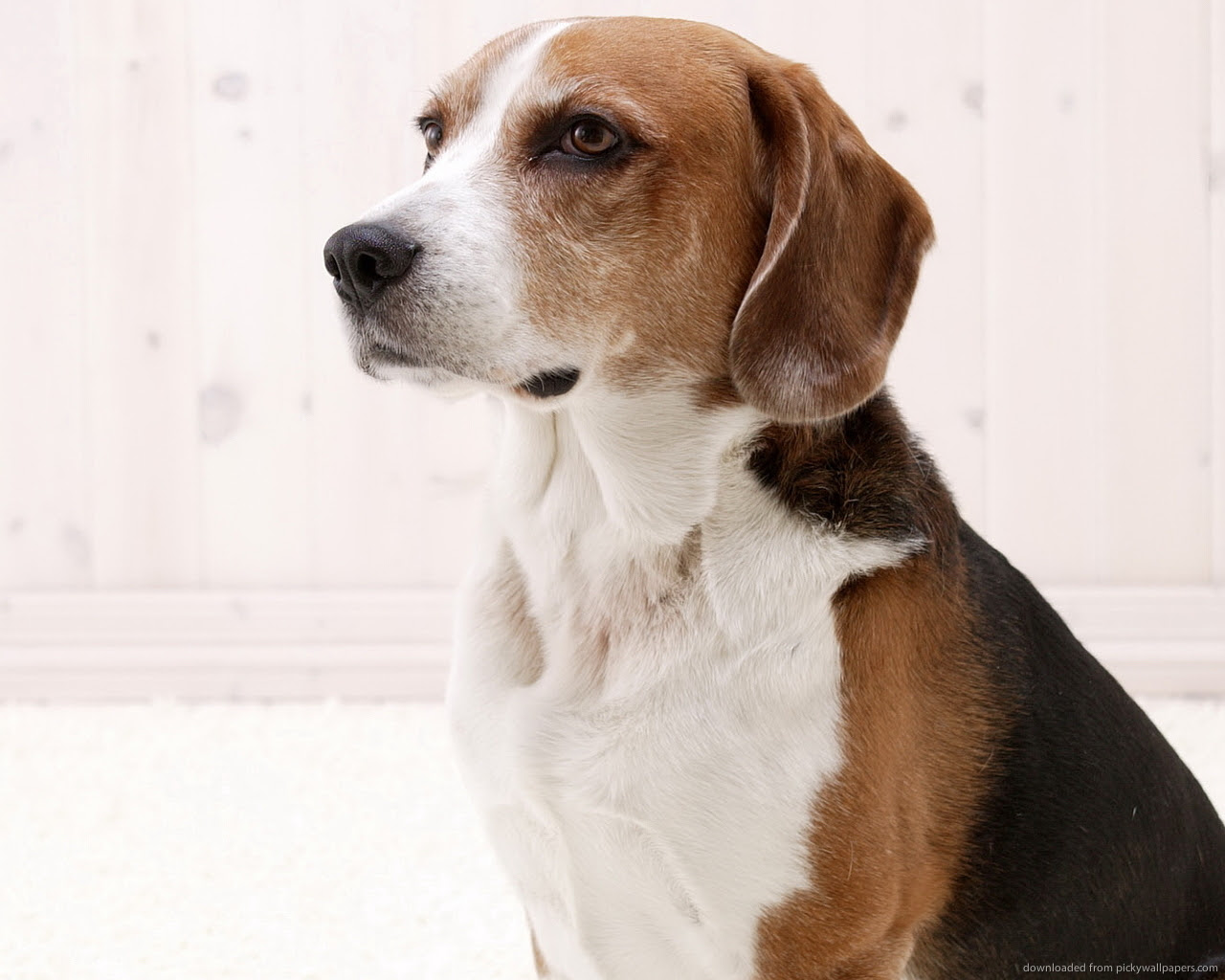 American Foxhound Breed Guide  Learn about the American Foxhound.
