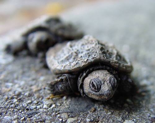 March of the Baby Turtles