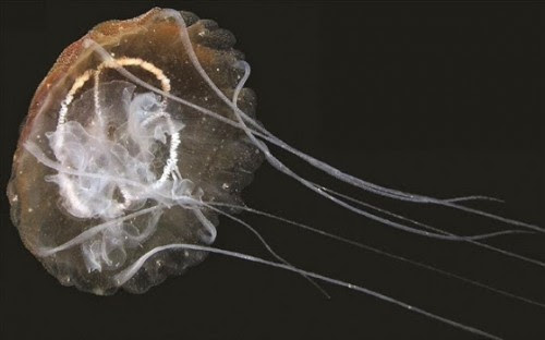 νέο-είδος-μέδουσας-ανακαλύφθηκε-στη-λιμνοθάλασσα-της-βενετίας
