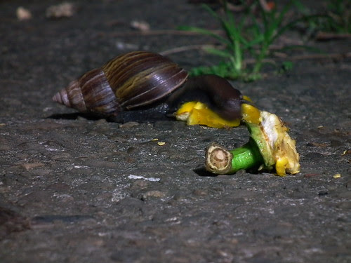 Snail feeding on a yellow pepper