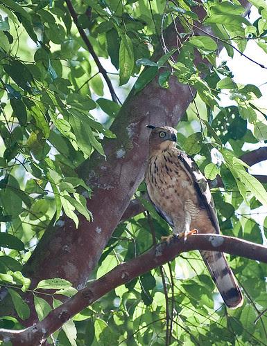 bird of prey hawk eagle IMG_6415 copy