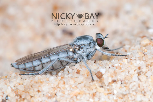 Robberfly (Asilidae) - DSC_2995
