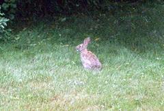 Bunny_71410d
