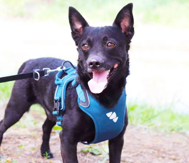 Lester – 2 year old male Cross-Breed