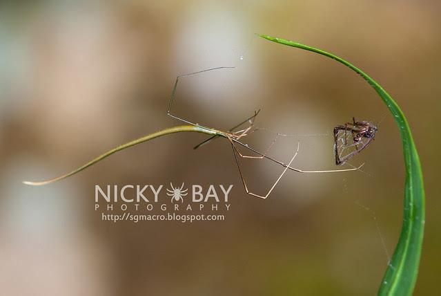 Whip Spider? (Ariamnes flagellum) - DSC_7268