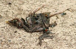 English: Blow flies (chrysomya megacephala) on...