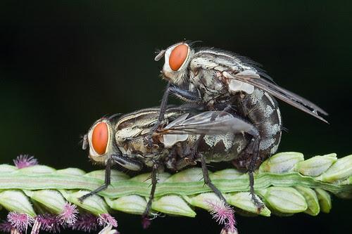 mating flies IMG_9856 copy