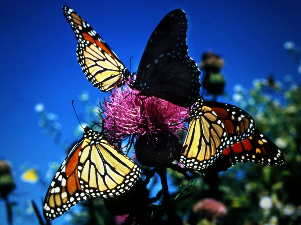 Beautiful Butterflies Wallpapers Colorful Butterfly ...