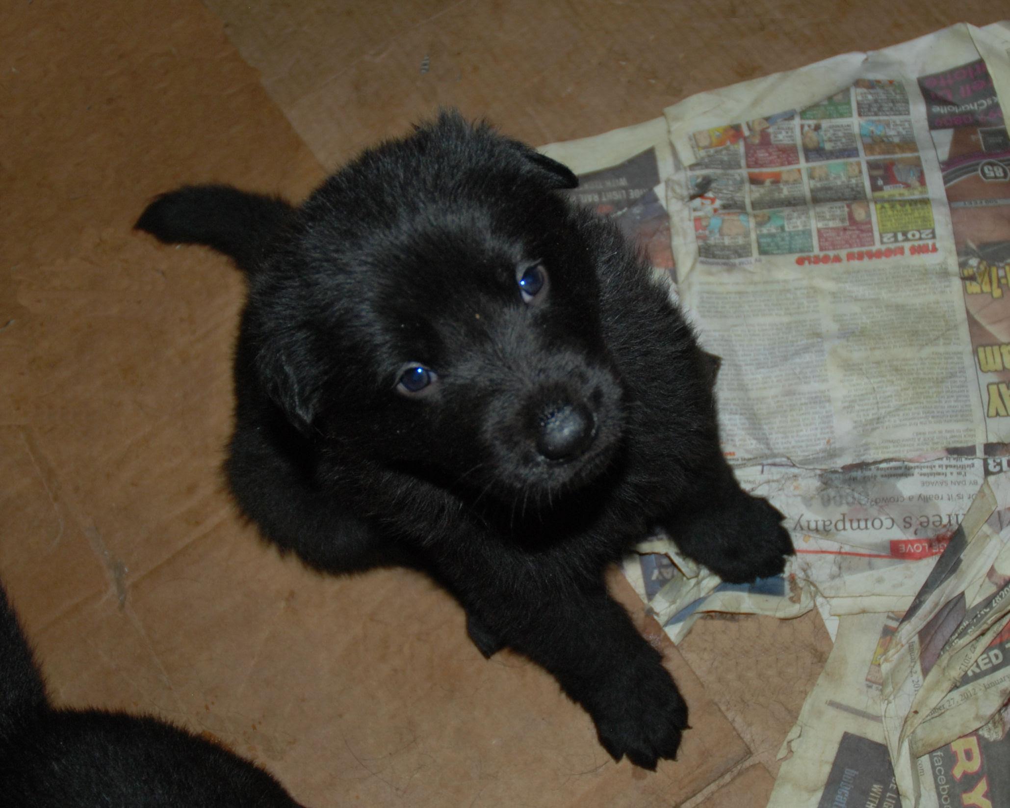 Buy Black German Shepherd Puppies For Sale Near Me In Italy