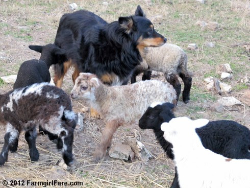 Farm dogs and little lambs 8 - FarmgirlFare.com
