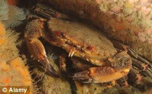 Un ejemplar sano: Un cangrejo vivo diablo en su pose favorita, por una roca bajo el mar ... en condiciones más cálidas