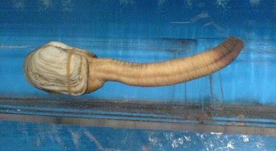 532957Geoducks 1 Worlds Strangest Species – Geoducks  Pictures Seen on www.VyperLook.com