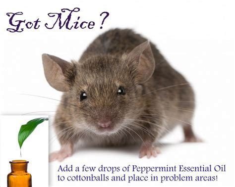 14 best images about Mice problem on Pinterest   The bug, Irish and Mice repellent