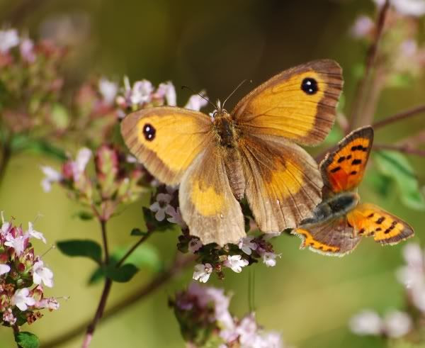 Pair o Butterflies