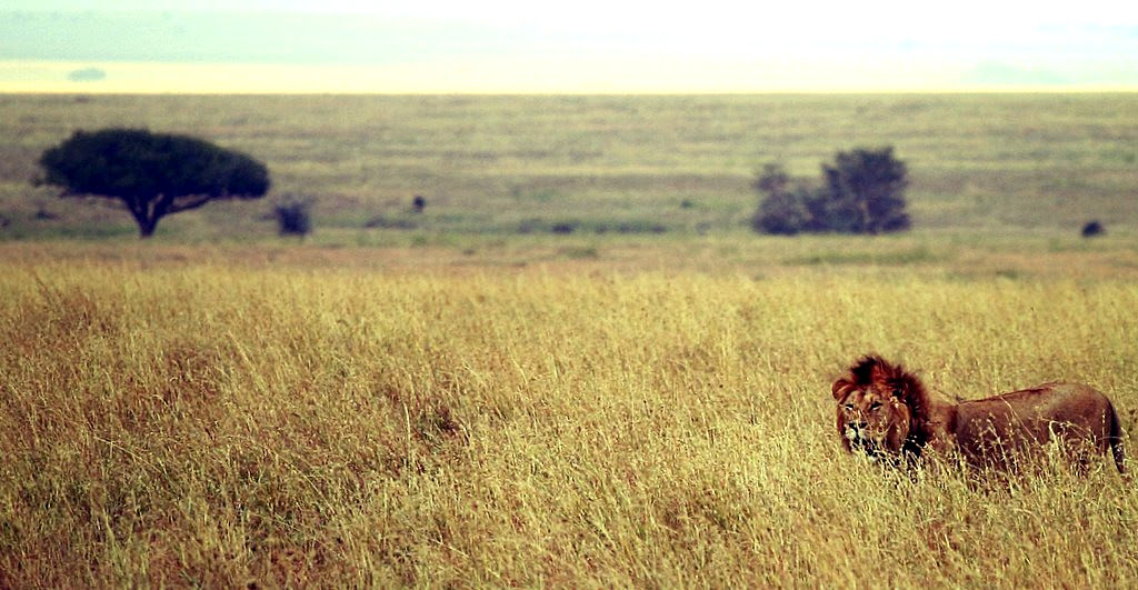 http://upload.wikimedia.org/wikipedia/commons/b/b3/Male_lion_on_savanna.jpg