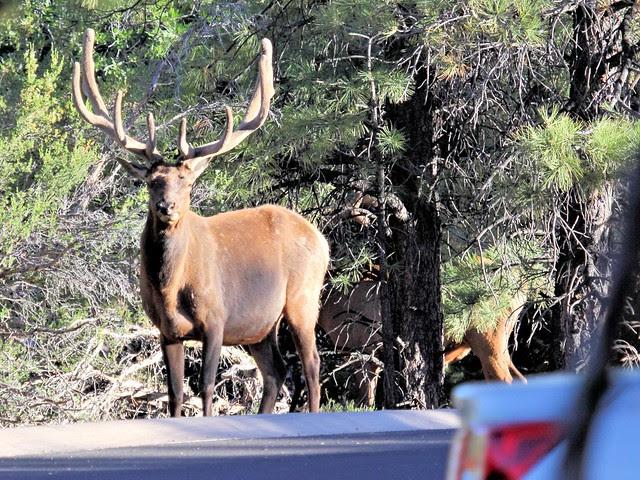 Bull Elks at parking lot 20130618
