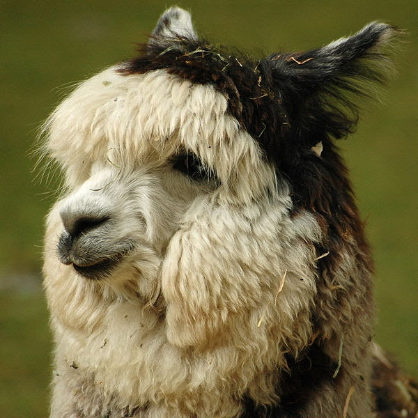 File:Alpaca headshot.jpg