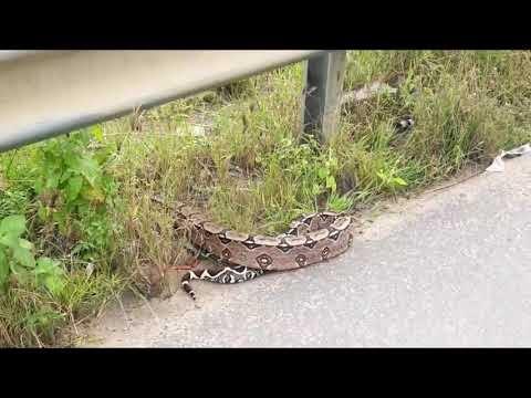 Jiboia de grande porte é filmada atravessando rodovia em Santa Cruz do Capibaribe