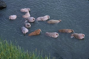 English: Walrus on Togiak National Wildlife