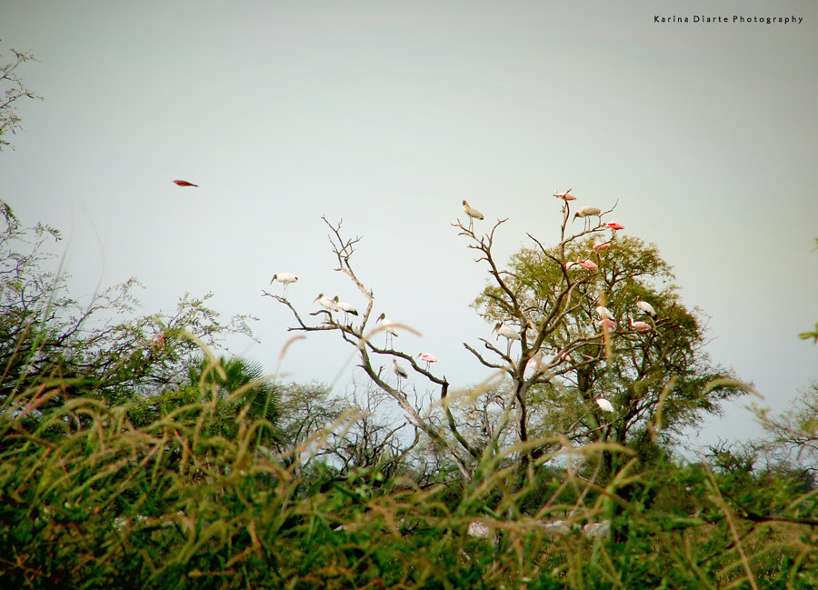 Espátula rosada / Roseate Spoonbill, Tuyuyu / American Wood Stork