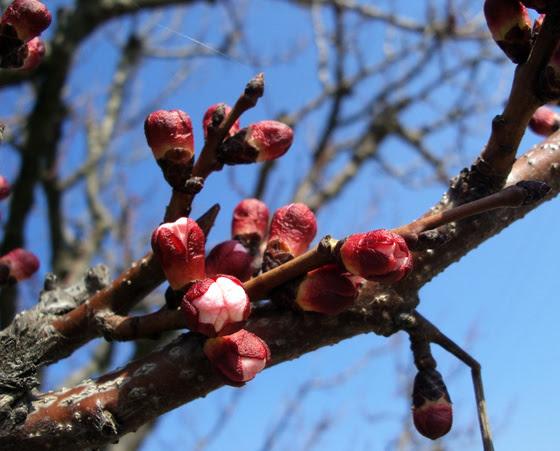 szusi: Sárgabarackfa-rügy