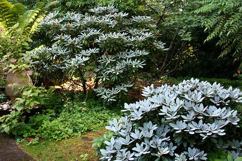 gray new foliage on rhodies