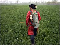 A woman sprays pesticides on a wheat farm near Xuzhou, China.