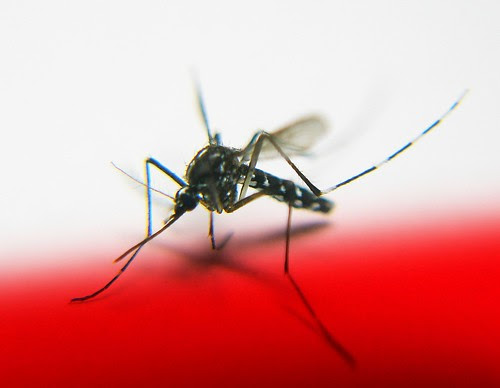 Mosquito by tanakawho, on Flickr