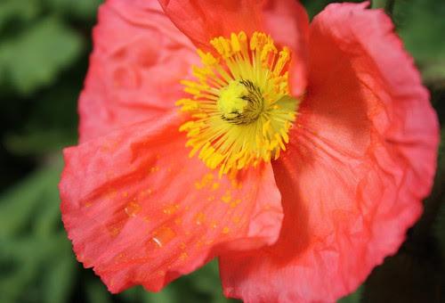 Pink Iceland Poppy