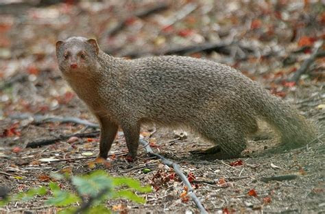 Mongoose Animals   Interesting Facts & Latest Pictures   The Wildlife