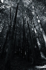 silvermines forest in black & white
