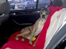 perro tumbado en coche