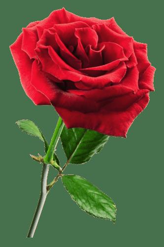 Rosa Roja Png Transparente Stickpng