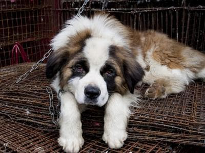 Foto de archivo de un perro San Bernardo.