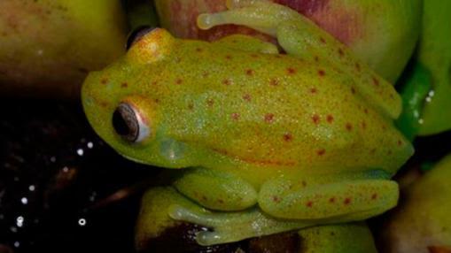 La rana puntuada es amarillenta y tiene puntos rojos