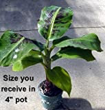 Truly Tiny Banana Plant - Musa - Great Fruit-24 Height