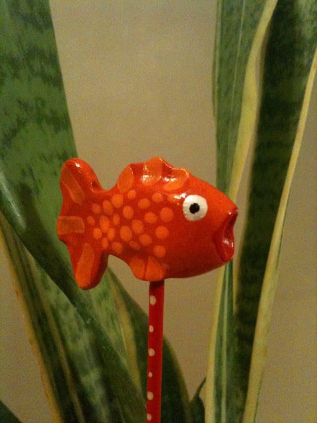 columnea goldfish plant. wallpaper goldfish plant pictures. pictures have brown tips? nematanthus