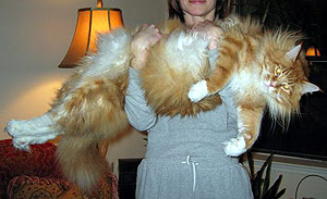 Mammoth cat held by proud human.