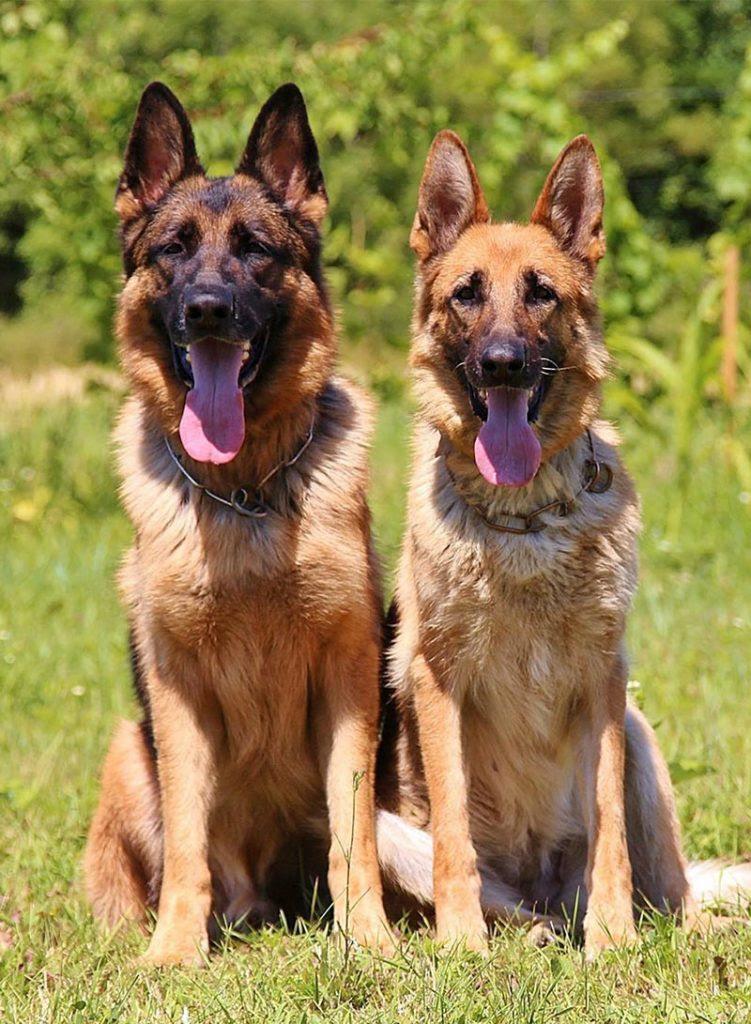 German Shepherd Puppy Dog Price In Australian Capital Territory Australia