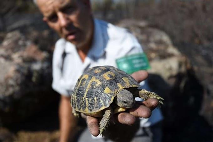 Kurtarma ekipleri, Fransa'nın yanmış biyoçeşitlilik etkin noktasında kaplumbağaları kurtarmak için yarışıyor