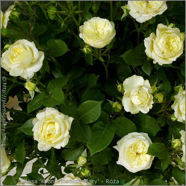 Rosa 'Kronprinsesse Mary' - Róża 'Kronprinsesse Mary'