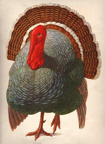 turkey001b.jpg (436×600)