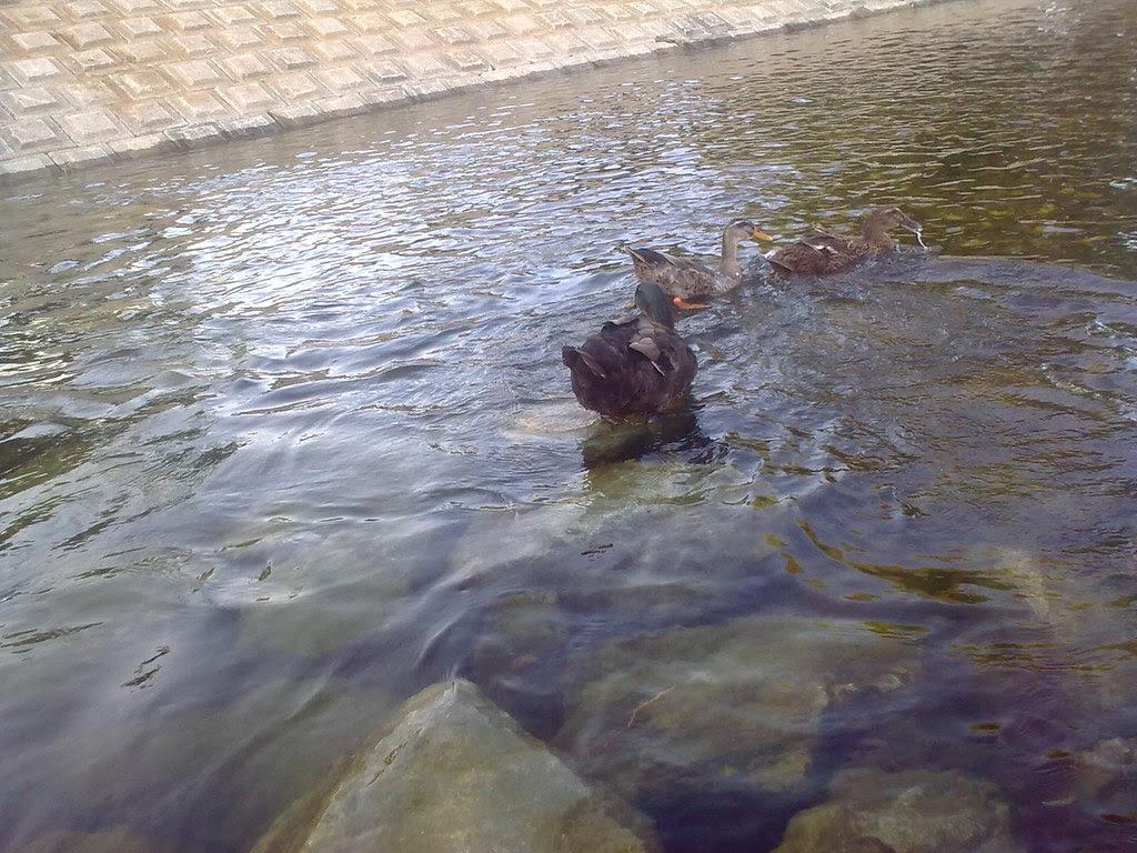 대구 신천둔치 청둥오리 가족 wild duck family at Sinchundunchi, Daegu #7