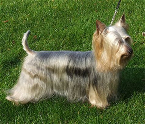 Silky Terrier   Rodent Hunter from Down Under