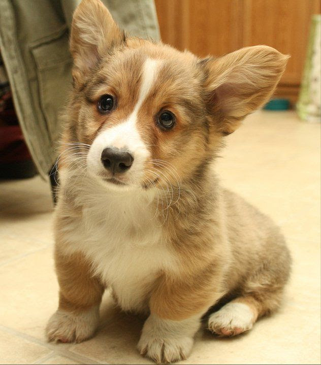 Buy Puppy Corgi For Sale In Western Australia
