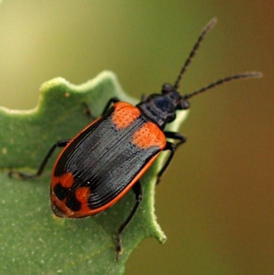 Leaf Beetle on Solanaceae - Lema trabeata - male - female