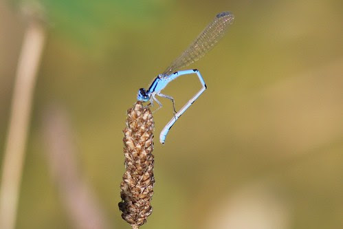 IMG_0896_Turquoise_Bluet_Damselfly_at_Ouabache