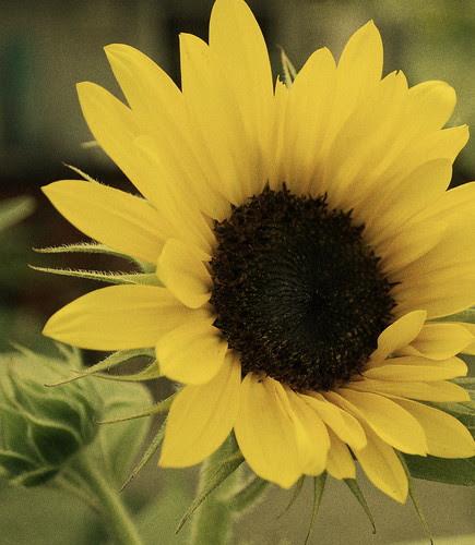 Sunflower filtered